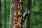 greater_spotted_woodpecker_juvenile
