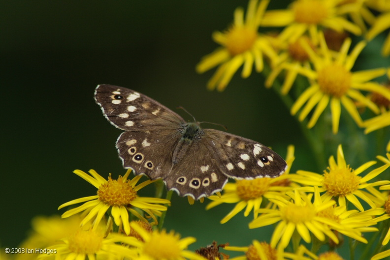 speckled_wood.jpg