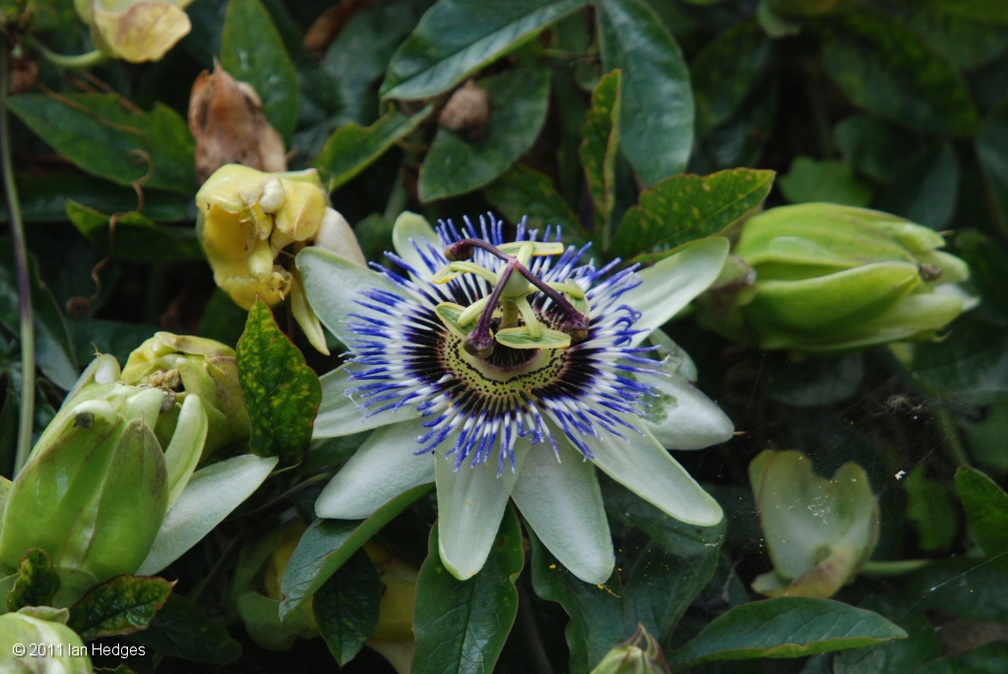clovelly passion flower