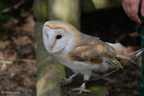 ash_barn_owl_4_months_old2
