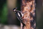 greater_spotted_woodpecker_male