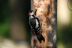 greater_spotted_woodpecker_male1