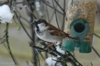 house_sparrow_male