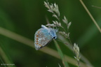 common_blue_side