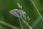 common_blue_side1