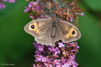 meadow_brown