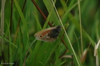 meadow_brown_side1